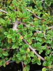 Cotoneaster Strieb's Findling 1L Pot